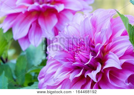 Close Up Beautiful Pink Dahlia Flower Blossom And Green Leaves. Fresh Floral Natural Background.