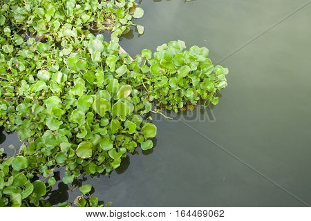 The many water hyacinth float in the canal