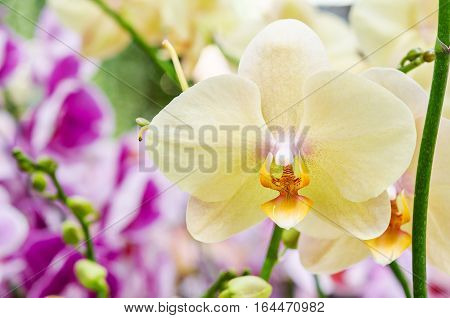 Yellow orchid flowers in garden at Thailand.