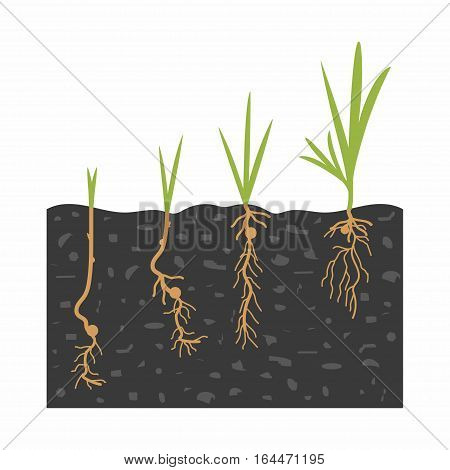 spring flower seed sprouting growth green young plant life process isolated on white