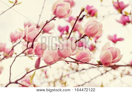 Flowers of magnolia tree over blue sky in springtime