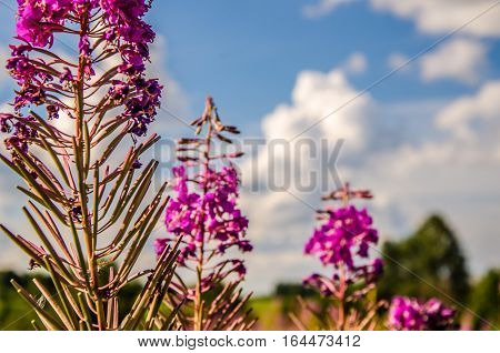 fireweed blooming summer day. blooming willow tea