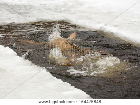 Winter day. Dive in the ice-hole. Someone is jumping into cold water.