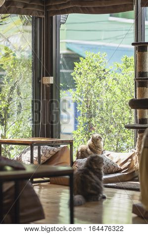 Persian cats Playing in a Cat Cafe coffee shop