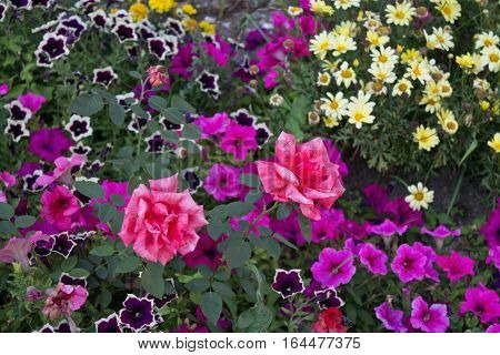 flowerbed with roses daisies and petunias closeup