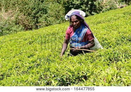 NUWARA ELIA SRI LANKA - FEBRUARY 20: Tea picking in Sri Lanka hill country. Nuwara Eliya on February 20 2015