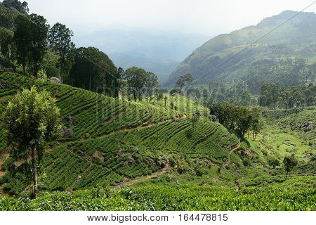 Tea Plantation in the hill country in Sri Lanka