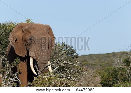 Bush Elephant Standing And Looking At You