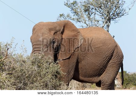 Bush Elephant Standing And Hiding His Trunk