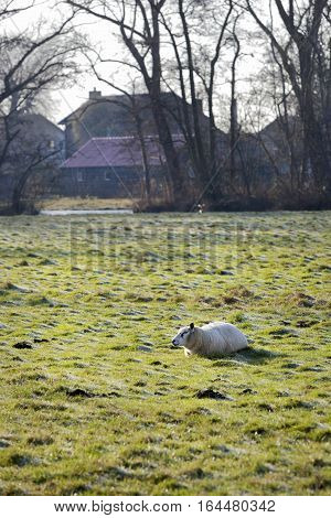 Sheep resting in winter pasture in the Netherlands with farmhouses in the background