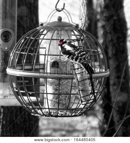 black and white photo of hairy woodpecker on feeder with red