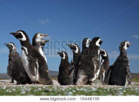 Penguins at Volunteer Point on the Falkland Islands poster