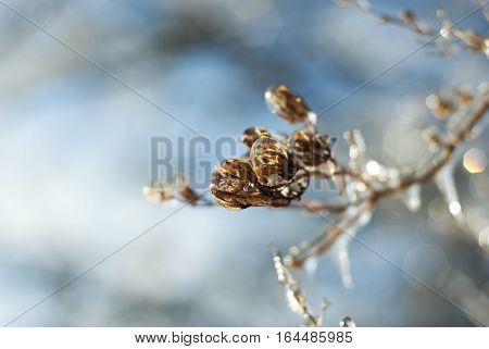 Lilac seed pods are encased by ice in winter.