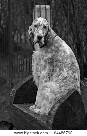Regal big white dog with long hair and brown bright spots of hunting breed  - english setter sitting in the frozen winter city park in vintage  black and white style