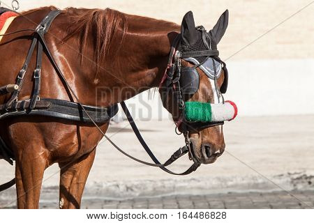 Horse. Portrait of a brown horse with bridle. Italian flag in his face. Horse of a Roman chariot. Rome Italy.