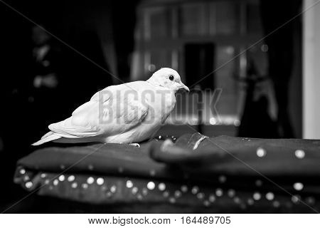 homing white pigeon, dove, seats on the black cage