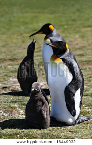 Penguins with their chicks at Volunteer Point on the Falkland Islands