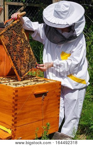 Woman beekeeper in white worksuite with bees in beehive