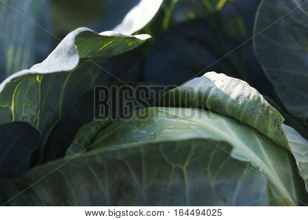 A cabbage head waits to be harvested from the garden.