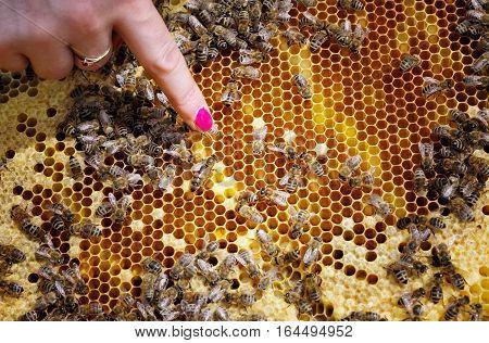 Bee queen in beehive - close up view. Finger of beekeeper