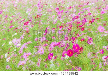 Beautiful pink and white cosmos flowers swaying in natural field farm tranquil scene.