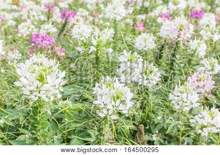 Beautiful white and pink spider flowers (Cleome Spinosa) in the garden with blurred natural background.