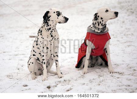 Two female Dalmatian dogs sitting on snow looking to the trainer. One Dalmatian dressed in a red coat.