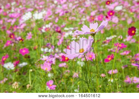 Colorful pink cosmos blooming with blurred natural field farmland beautiful travelling destination.