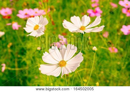 Warm light photo of close up white cosmos blooming with blurred natural field farmland beautiful travelling destination.