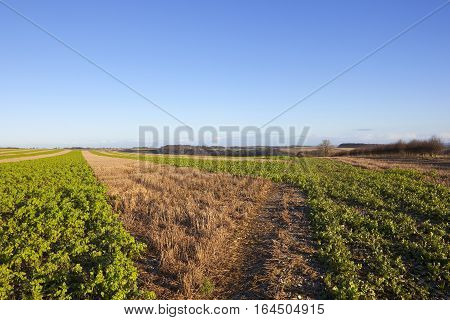 Mustard Strips And Straw Stubble