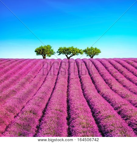 Lavender flowers blooming field and a trees uphill. Valensole Provence France Europe.