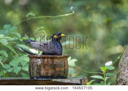 Common mynah in Minneriya national park, Sri Lanka ; specie Acridotheres tristis family of Sturnidae