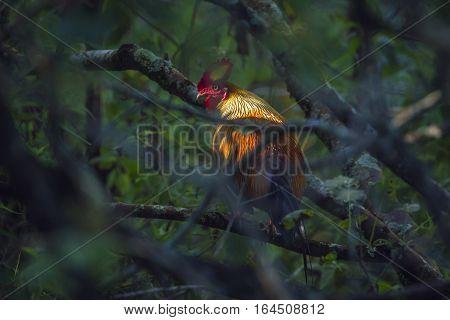 Sri Lankan junglefowl in Ella ,Sri Lanka ; specie Gallus lafayetii family of Phasianidae