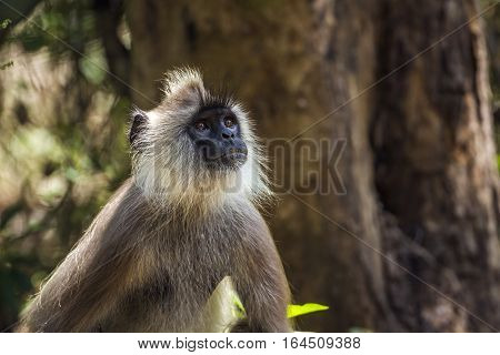 Tufted gray langur in Minneriya national park, Sri Lanka ; specie Semnopithecus priam family of Cercopithecidae