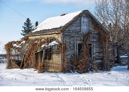 Dead vines growing against an old abandoned collapsing tall wooden homestead in a winter landscape