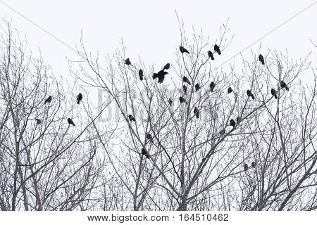 A Group of Ravens on Trees in Winter