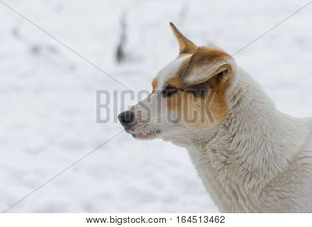 Portrait of mixed breed flap-eared street dog against white snow
