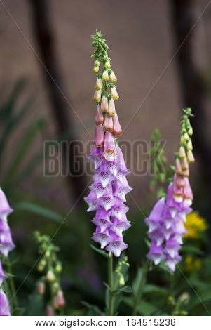 Pink and purple foxglove flowers bloom in summertime.