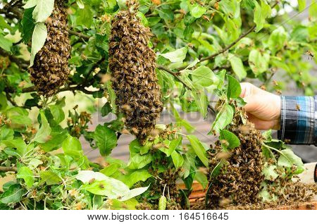 Bee keeper with a swarm of bees