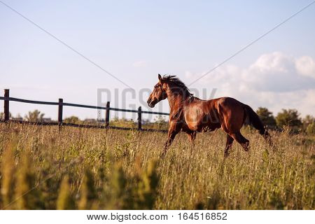 Bay horse walks in the paddock on a sunny day