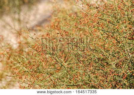 Camel thorn (alhagi) bush with beans of autumn in the Kyzylkum desert Uzbekistan