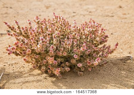 Fruit of salsola like flowers. Fructiferous salsola in the Kyzylkum desert in the fall.