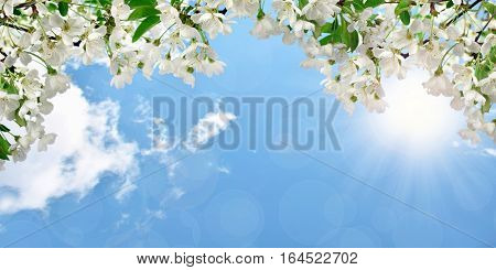The sun's rays shine through the flowering branches of cherry. Spring flowering natural background. Panorama. Beauty of nature awakening.