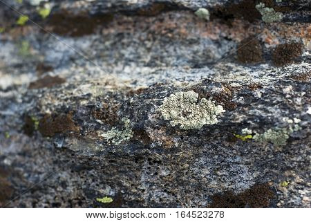 Light green lichen grows on a rock in the mountains.