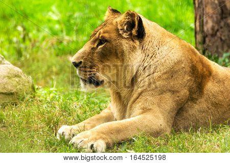 Lioness female. Panthera leo. Wild animal and wildlife