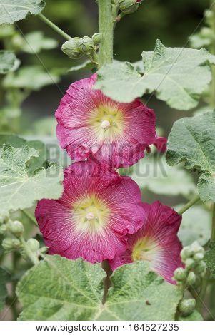 Two pink hollyhock flowers bloom in summertime.