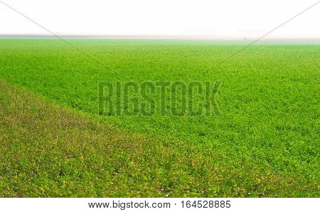 View Of Green Lucerne Plantation