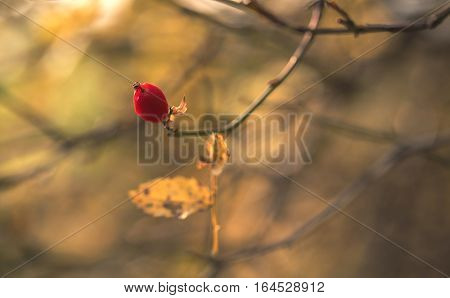Closeup Photo Of A Rosehips Fruit