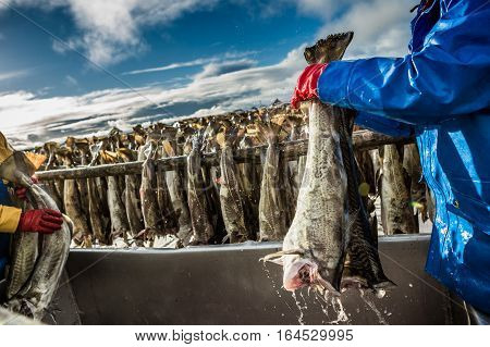 Fisherman with a fish on the Lofoten island