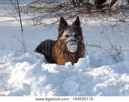 Shepherd in a winter paradise. Lodz, Poland - January 07, 2017 German Shepherd in the favorite walk of the winter.